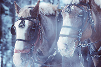 Draft horses covered in frost on a minus 30 degree day in winter, Delta Junction, Alaska
