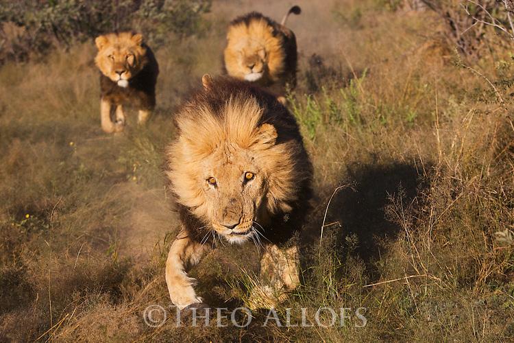 Botswana, Kalahari, private game reserve, male lions running in enclosure, captive