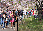 Crowd of tourists at the Cherry Blossoms Festival