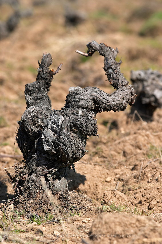 gobelet training old vine sandy soil Bodega La Setera, DO Arribes del Duero spain castile and leon