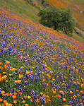 Sierra National Forest, CA<br /> A hillside of flowering California poppies and lupine oak tree along the Moss Creek Trail, Merced River Canyon