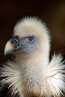 Spanien, Kanarische Inseln, Teneriffa, Gänsegeier im Parque Las Aguilas de Teide