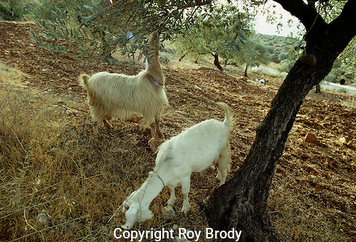 Goats eating olives from trees in Galilee, Israel
