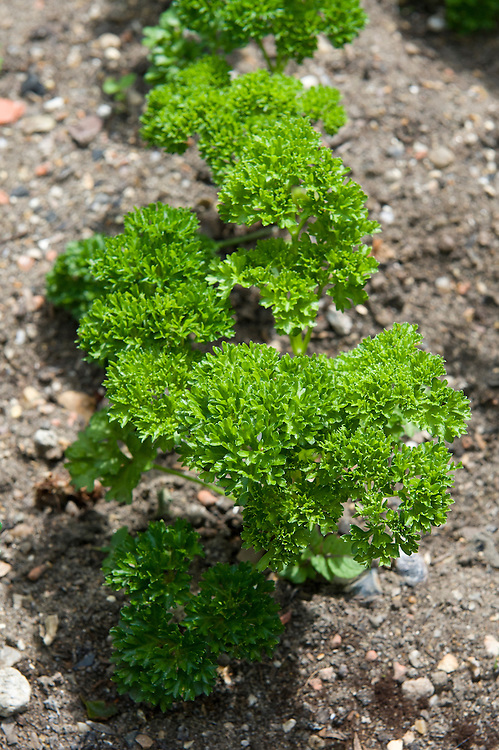 Curly-leaved parsley 'Lisette', mid June.