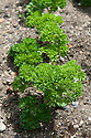 Curly-leaved parsley 'Lisette', mid June.