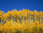 Autumn Aspen trees, Telluride, Colorado, USA. .  John offers private photo tours and workshops throughout Colorado. Year-round.