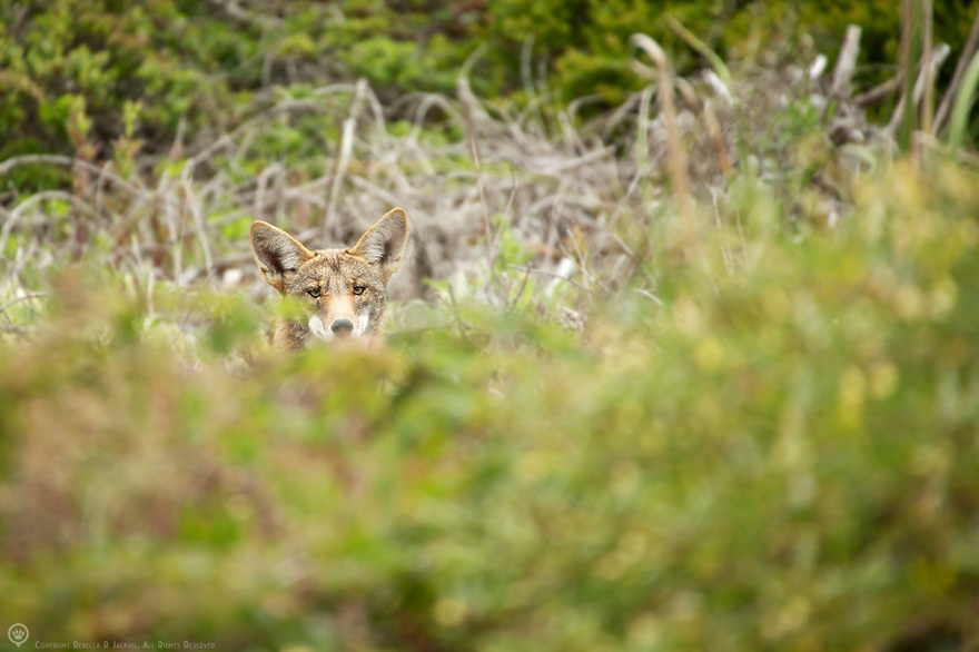 North America, USA, California, Pacifica. Coyote.