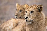In Kruger we encountered a very large lion pride, over twenty strong.