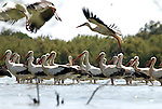 White Storks resting in shallow lagoon with a few taking off, Andalucia, Spain