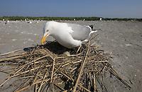Herring Gull at nest; Larus argetatus; Nummy Island, Stone Harbor,NJ