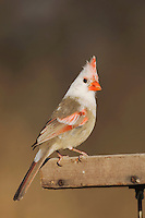 Northern Cardinal (Cardinalis cardinalis), leucistic female perched on feeder, Bandera, Hill Country, Texas, USA