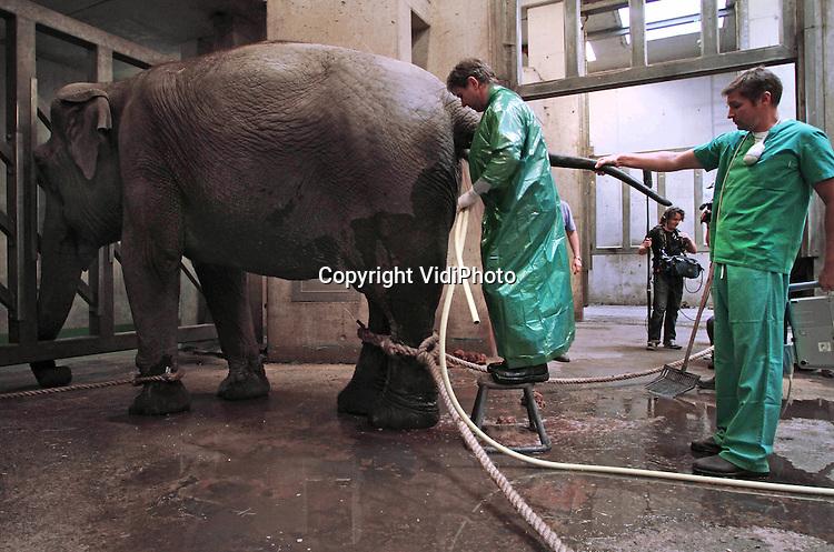 Foto: VidiPhoto..ARNHEM - De 43 jaar oude Duitse circusolifant Rekka van Burgers' Zoo in Arnhem heeft een tumor in de blaas die haar veel pijn bij het plassen bezorgt. Dat blijkt uit onderzoek van specialisten van het Duitse onderzoeksinstituut IZW uit Berlijn, maandag. De Duitse doktoren onderzochten de oude olifant met een echoscope, nadat deze onder lichte narcose was gebracht. Voordeel daarvan is dat het dier kan blijven staan. Het komt vrijwel nooit voor dat er bij een olifant een inwendig onderzoek plaatsvindt. In Burgers' Zoo is dat nog niet eerder gebeurd. De tumor van Rekka kan niet verwijderd worden. De komende tijd zal geprobeerd worden met antibiotica en pijnstillers de pijn weg te nemen..