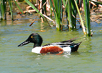 Adult male northern shoveler in breeding plumage swimming at edge of marsh