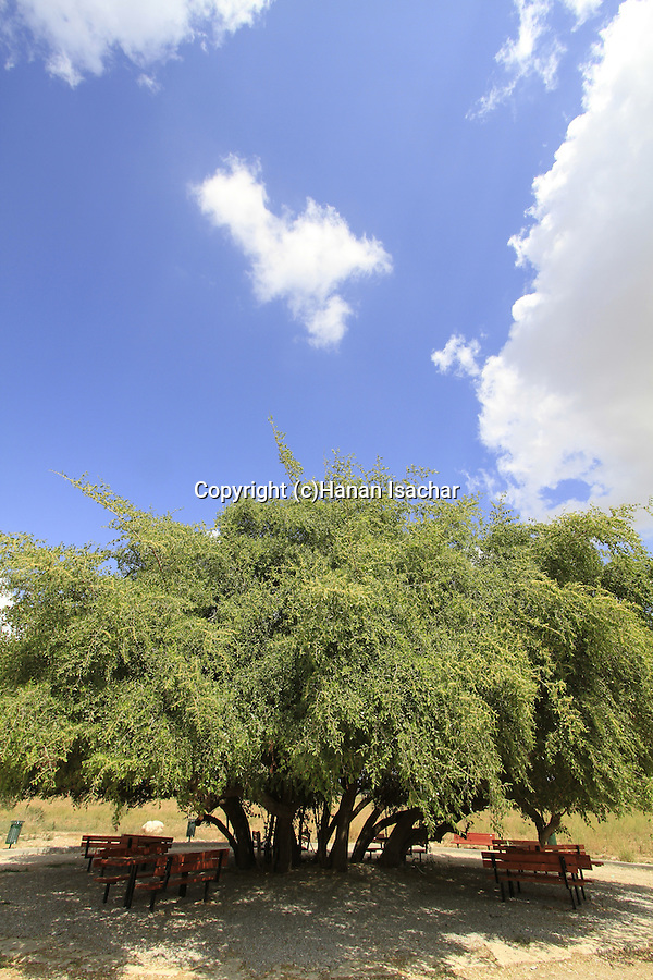 A Jujube tree by Nahal Sorek in the Shephelah