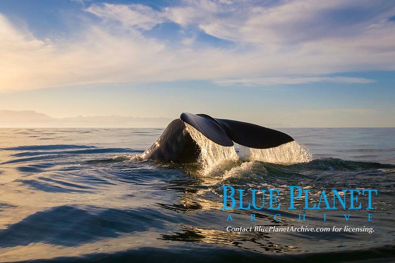 Sperm whale (physeter macrocephalus) Gulf of California. The tail of a sperm whale., Baja California, Mexico, Pacific Ocean
