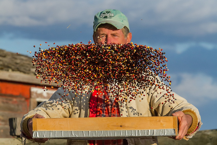 Dave Christensen grows multicolored heirloom corn on 11 different plots scattered across Montana. Mainly dried and ground the kernels are highly nutritious and chock-full of antioxidants.<br />