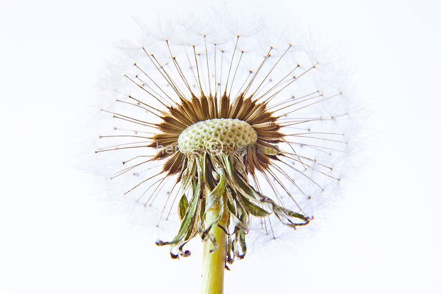pissenlit, Taraxacum dens-leonis, graines // dandelion, Taraxacum officinale, seed head
