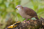White-throated Quail-Dove, Geotrygon frenata, at a feeder in Tandayapa Valley, Ecuador