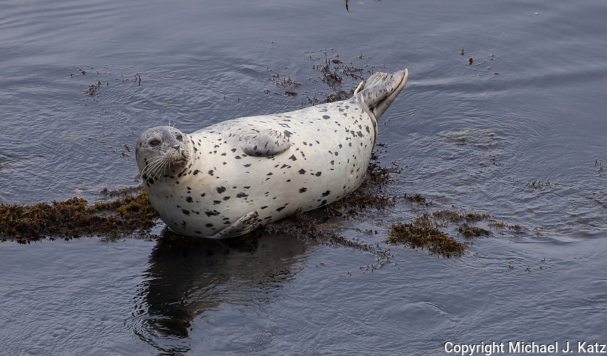 Seal, Pacific Grove