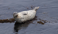 Seal, Pacific Grove