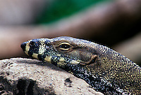 The lace monitor (Varanus varius) grows to between 1.5 and 2 metres in length, it is a dark steel grey above with pale yellow or cream bands or rows of spots. The underside is cream. The jaws and snout are usually strongly barred with yellow and dark grey. A second colour form known as Bell's phase occurs in some areas of Queensland which has strong dark grey and yellow bands all along the body. The toes are equipped with long, strong claws, which are used for climbing. The tongue is long and forked like a snake . Monitors are the only lizards that have a forked tongue.