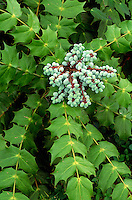 Oregon Grape Mahonia sp.#5604. Virginia.