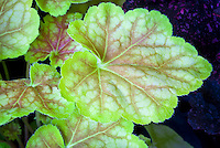 Heuchera Pretty Perrine, ornamental foliage plant leaves with scalloped edges, green yellow with salmon red veins
