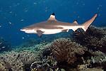 Carcharhinus melanopterus, Blacktip reef shark, Raja Ampat, Indonesia