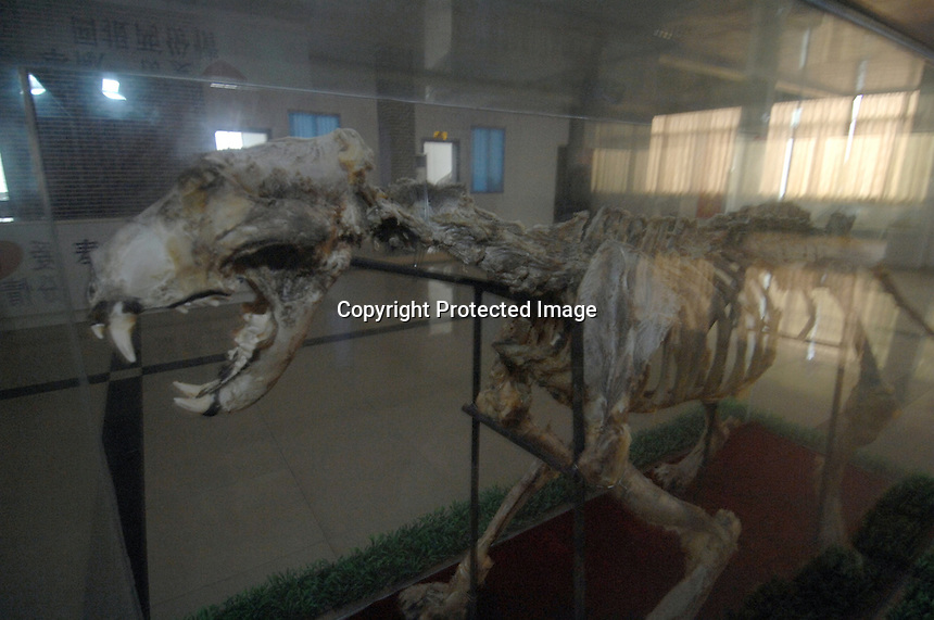 A tiger skeleton on display at the backroom sales area of the Xiongsen tiger farm Guangxi Province which has more than 1500 tigers.  The parks owner also owns the Xiongsen Liquor Limited Company which uses tiger bones to make tiger wine used to treat arthritis amongst other things.