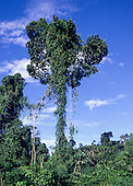 Para, Brazil. Brazil nut tree (Bertholetia excelsa) left standing with low secondary vegetation.