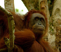 The Bornean Orangutan, Pongo pygmaeus, is a species of orangutan native to the island of Borneo. Together with the slightly smaller Sumatran Orangutan, it belongs to the only genus of great apes native to Asia.