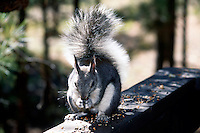 MAMMALS<br /> Adult Abert Squirrel<br /> Sciurus Aberti<br />  Lives on southern rim of Grand Canyon<br /> Flagstaff, AZ