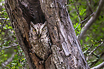 Eastern screech-owl (Otus asio), Texas , Starr County