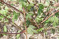 Gewöhnlicher Hopfen, junge Sprosse, Austrieb, Humulus lupulus, Common Hop, Houblon