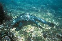 marine iguana, Amblyrhynchus cristatus, endemic to Galapagos Islands, Ecuador, Pacific Ocean
