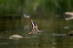 Killdeer in Flight Southern California