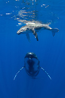 A Humpback Whale calf surfaces to breathe as its mother hovers in mid-water, dwarfing a snorkeling photographer. Moorea, French Polynesia, Pacific Ocean
