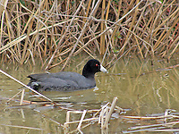 American coot, Bald Knob National Wildlife Refuge, Arkansas.