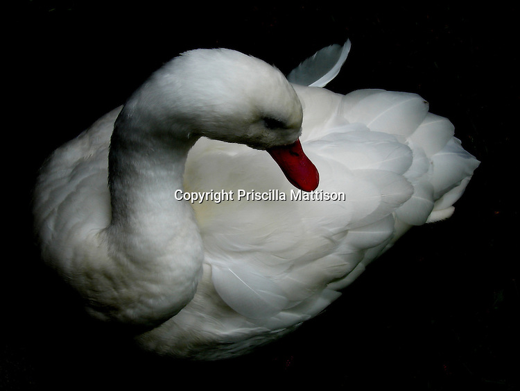 Against a black background, a swan turns its head to the side.