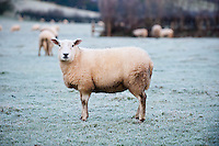 Friday 20 December 2013<br /> Pictured: Sheep brave the frost in a frozen field.<br /> Re: Frost and ice hits parts of the country even though there are a series of weather warnings in place for later with gale force winds and more heavy rain forecast.
