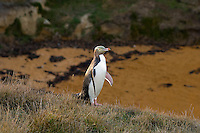 Yellow Eyed Penguin, Moeraki, Otago, New Zealand