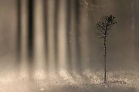 Bog woodland at dawn, Bergslagen, Sweden.