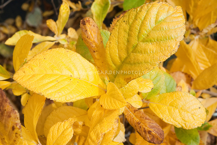 Clethra alnifolia seedling fall foliage
