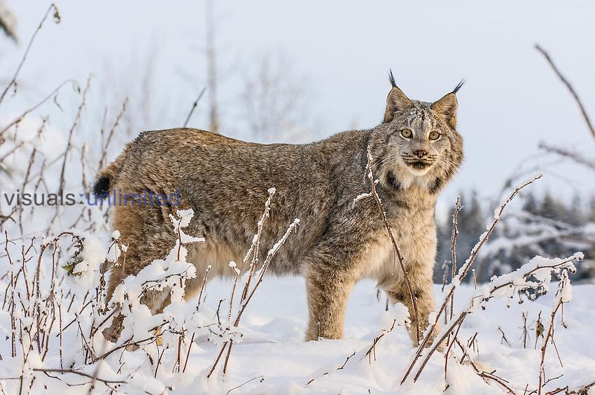 Canadian Lynx (Lynx canadensis) hunting in snow, Alaska, USA. Captivity