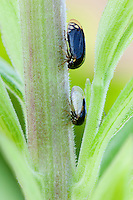 Treehopper; Acutalis tartarea; on goldenrod; PA, Philadelphia; Morris Arboretum