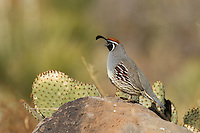 Gambel's Quail (Callipepla gambelii) adult on rock, Bosque del Apache National Wildlife Refuge , New Mexico, USA