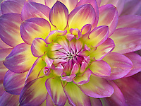 Close up of Dahlia variety China Doll. Oregon