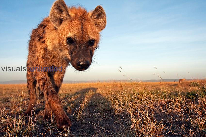 Spotted Hyena adolescent(Crocuta crocuta). Masai Mara, Kenya.