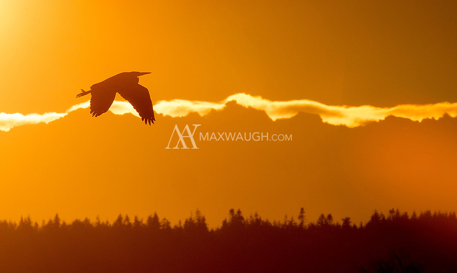 A Great blue heron flies in front of the Olympic Mountains at the end of the day.