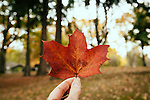 A little red autumn leaf being held again blurred autumn background.
